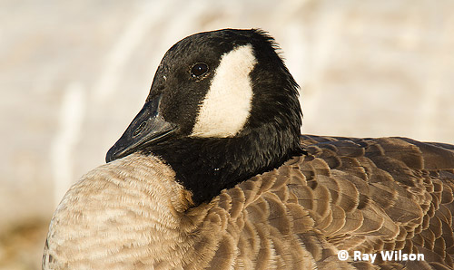 Review Of Canada Goose Population Trends