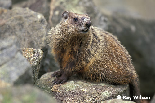 Groundhog marmota monax ray wilson bird wildlife for Woodchuck usa