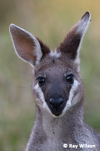 Whiptail Wallaby Pretty Face Wallaby Macropus Parryi