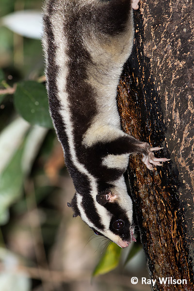 Torresian Striped Possum